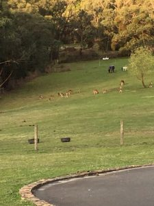 Local Kangaroos - The Barn Yarra Valley
